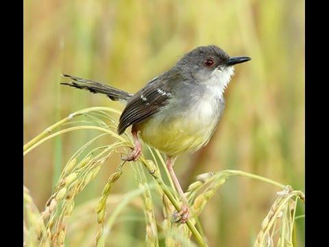 Ocehan Nyanyian Burung Ciblek Kebon