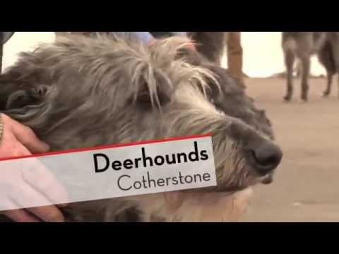 Deerhounds - Bests of Breed