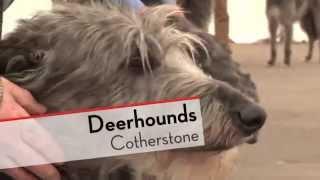 Deerhounds  Bests of Breed