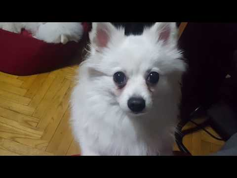 German Spitz: Don't stare at me!