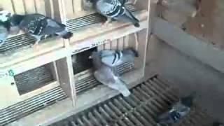 Hodowla gołębi Głąb Franciszek Tetko...