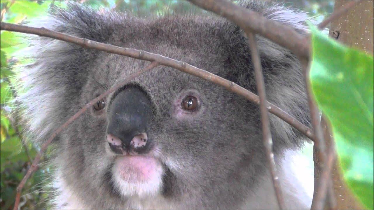Amazingly Cute Koala Bear In The Wild Youtube