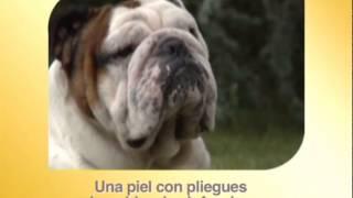 Bulldog Inglés - Razas Caninas Royal Canin