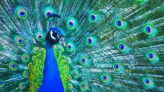 Animal Jam - Ask Brady: Where do peacocks live?