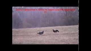 Браконьерская охота на тетерева с арбалетом