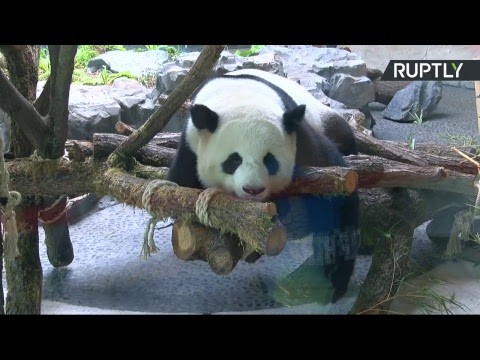 Завтрак с пандами: прямая трансляция из зоопарка Берлина