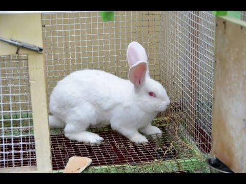 Кролики породы бабочка - описание, характеристики и
