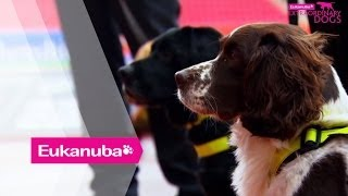 Spaniel Searches For Bomb In Wales | Part 1 | Extraordinary Dogs