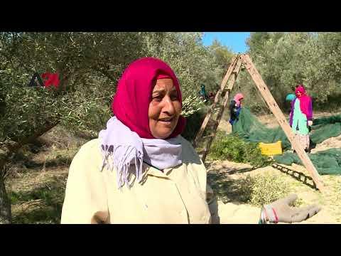 Tunisia| Women harvest olives in Beja