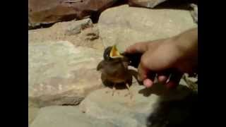 Mynah Bird (Acridotheres tristis) - Little Mynah Baby Bird making Noise