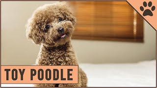 Toy Poodle Facts & Toy Poodle Puppies