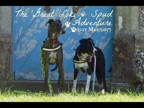The Great Loki & Spud Adventure | Sputnik The Sighthound