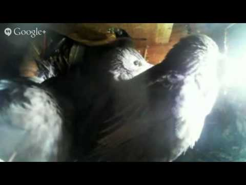 Starlings last day in nest box?