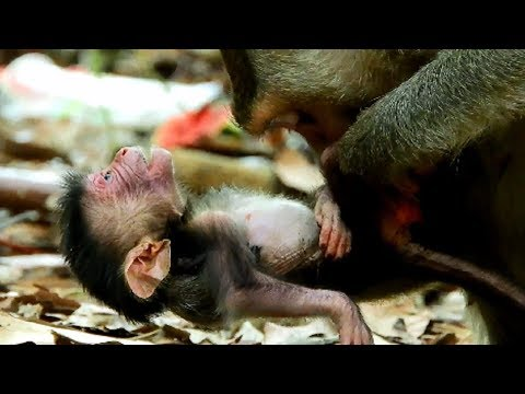 Million Sorry my baby !!! Newborn drop from the tree cos weakness & motherless,Poor new baby no milk