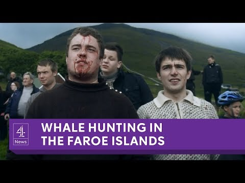 The Faroe Islands' annual whale slaughter