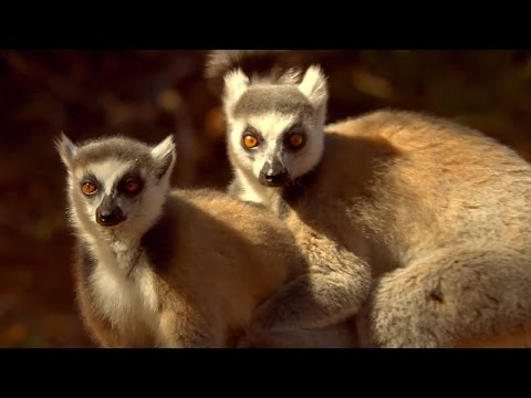 Lemur's Scent Attracts Females | Animal Attraction | BBC