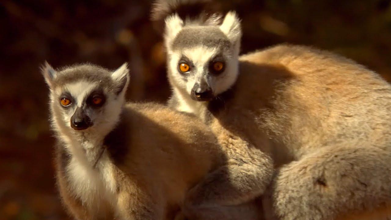 Lemur's Scent Attracts Females