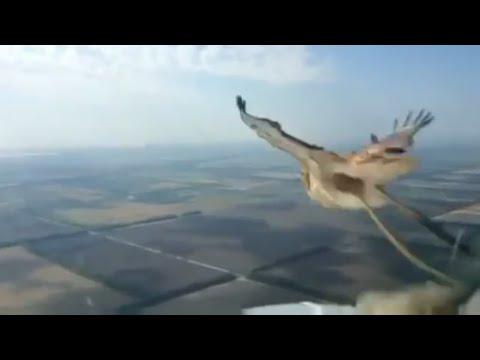 Birdstrike Boeing-737!!! Столкновение с птицей в воздухе. Мертвая птица, разбитое остекление кабины.
