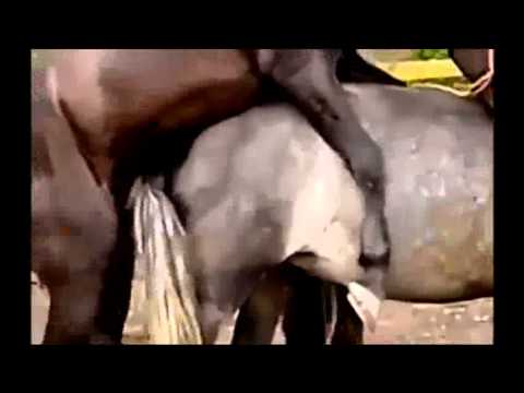 Afghani Horses Mating in Europe
