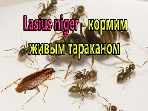 Lasius Niger - кормим живым тараканом.Lasius Niger - feed live cockroach