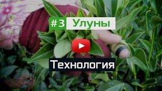 Технология производства чая улун, Дун дин, Алишань(, 2015-04-19T08:25:47.000Z)