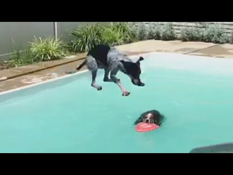 Dog Hops on Top of Other Dog in Pool