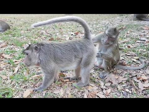 Most Amazing Monkeys Mating with Group   Funny Monkey meeting