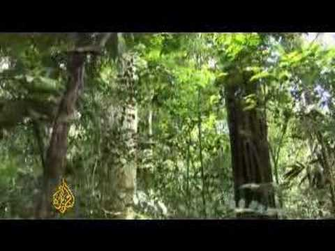 Cattle industry continues to threaten rainforest - 09 May 08