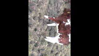 Maine-anjou et heifer