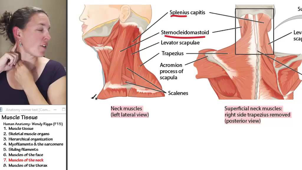 Muscle 7- Muscles of the neck - YouTube