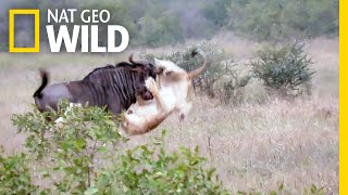 Two Lions vs. Bucking Wildebeest—Who Will Win? | Nat Geo Wild