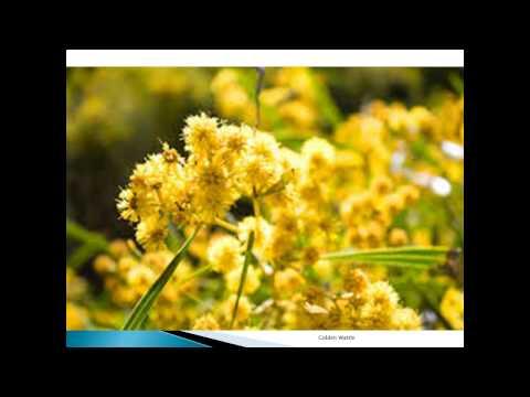 Golden Wattle Pictures Gallery