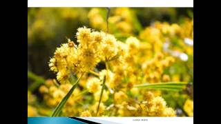 Golden Wattle Pictures Gallery