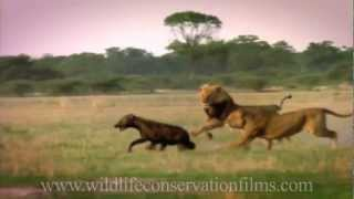 Repeat youtube video Amazing sights and reflections from 30 years of wildlife films