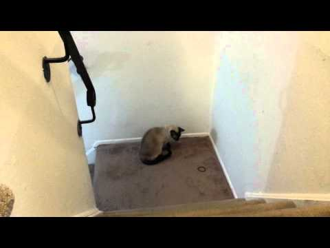 Super smart Siamese cat knows how to fling a rubber band