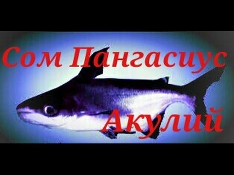 Аквариумные рыбки. Сом Пангасиус Акулий.