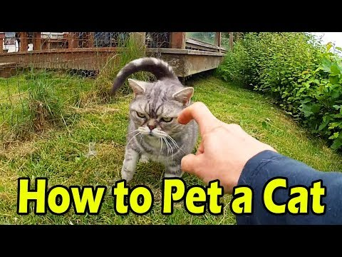 How To Pet A Sassy Cat - American Shorthair
