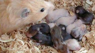 Джунгарские хомяки. 10-ый день жизни малышей. Уже покрылись шерстью и почти открылись глаза.