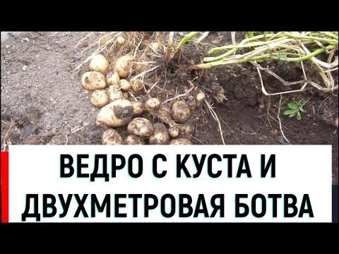видео: Как получить ведро картошки с куста пятой репродукции