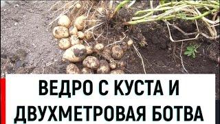 Как получить ведро картошки с куста пятой репродукции