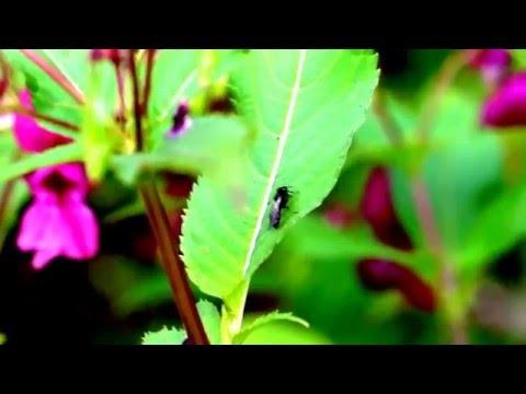 (Schwarze) Keulhornbiene (Ceratina cucurbitina)