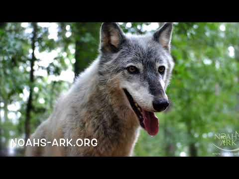 Wolves Howling - Noah's Ark Animal Sanctuary