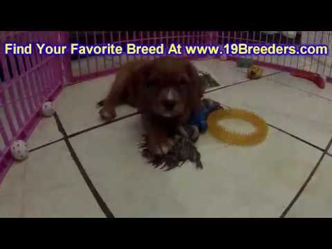 Cavalier King Charles Spaniel, Puppies, Dogs, For Sale, In Aurora, County, Illinois, IL, 19Breeders
