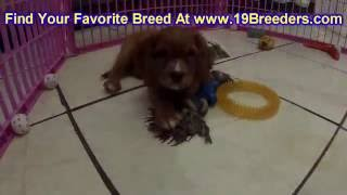 Cavalier King Charles Spaniel, Puppies, For, Sale, In, Chicago, Illinois, Il, Carol Stream, Streamwo