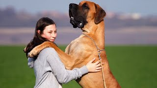 Top 10 Largest Dog Breeds In The World 2021    10 Biggest Dog Breeds In The World 2021