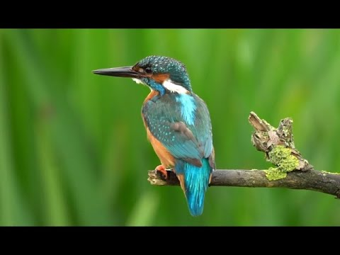 Stunning Footage Of Kingfishers