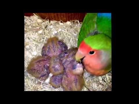 Baby love birds growing up