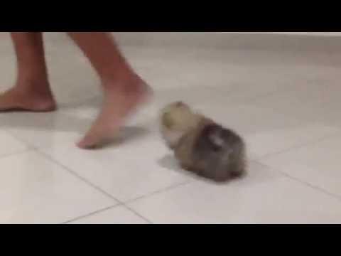 Regalo I Cuccioli Di Spitz Volpino Di Pomerania Toy Nano Youtube