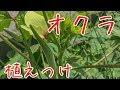 『家庭菜園だより』 ♯01プランターで育てる野菜オクラの植えつけ grow okra