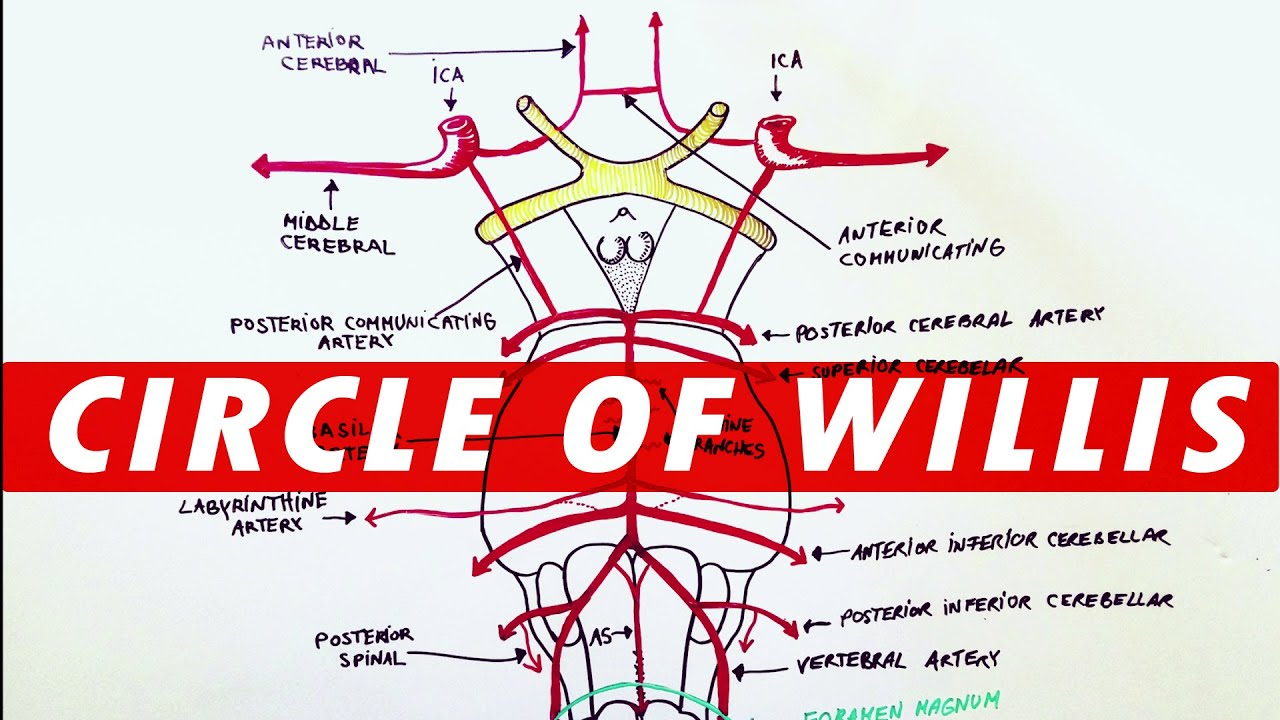 Anatomy Blood Supply To The Brain Circle Of Willis Youtube